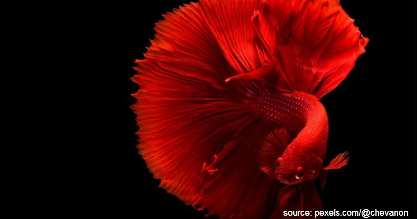 Menentukan Indukan Ikan Cupang Berkualitas - Cara Terlengkap Budidaya Ternak Ikan Cupang Rumahan