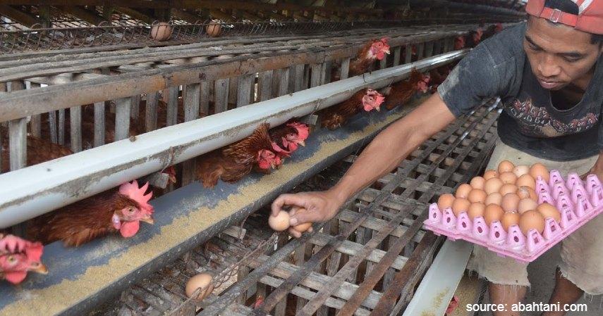 Panen - Cara Budidaya Ternak Ayam Petelur untuk Pemula