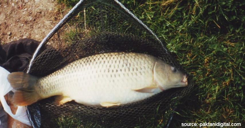 Pemantauan Kesehatan Ikan Mas - Budidaya Ternak Ikan Mas Termudah Bagi Pemula