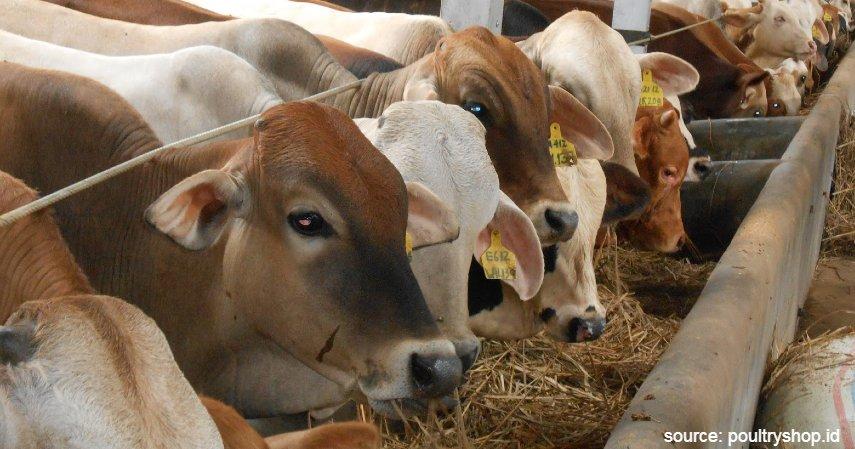 Penggemukan sapi - Cara Budidaya Ternak Sapi Potong dengan Keuntungan Fantastis