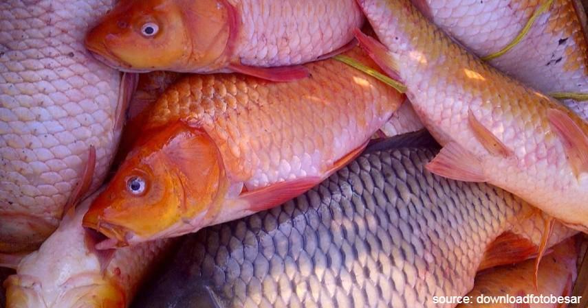 Proses Panen - Budidaya Ternak Ikan Mas Termudah Bagi Pemula