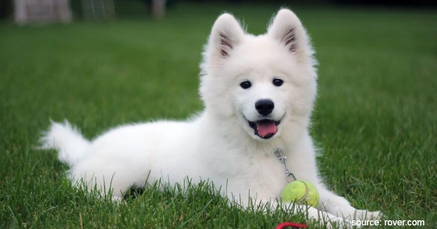 Samoyed - Jenis Anjing Termahal di Dunia Beserta Biaya Perawatan yang Dibutuhkan
