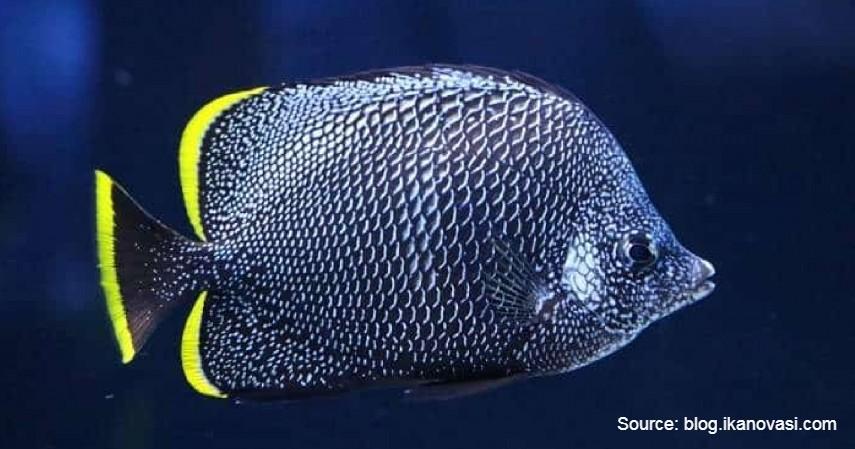 Wrought Iron Butterflyfish (Rp 38 juta) - Daftar Ikan Hias Termahal di Dunia dan Tips Merawatnya