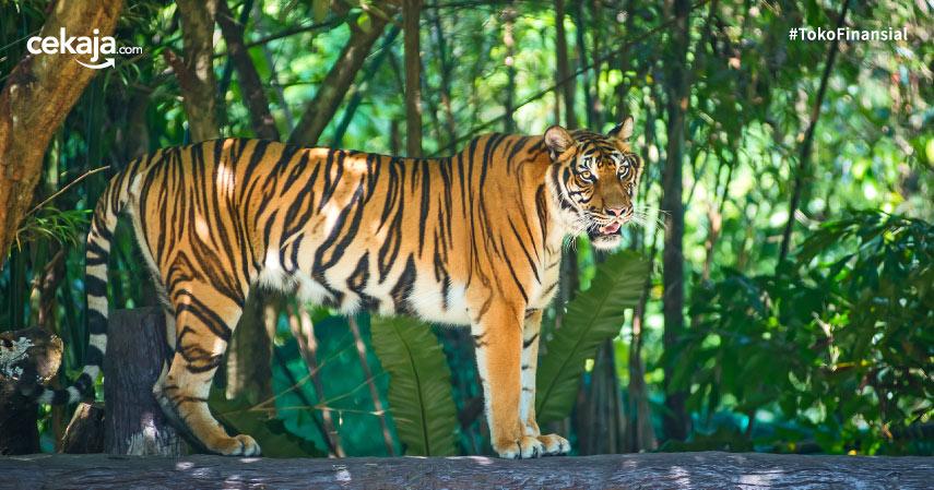 cara melestarikan harimau sumatera
