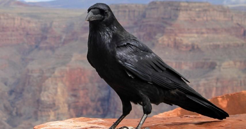 Gagak - 10 Hewan Terpintar di Dunia Ada yang Pintar Mengingat hingga Meramal