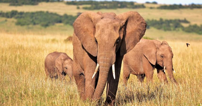 Gajah - 10 Hewan Terpintar di Dunia Ada yang Pintar Mengingat hingga Meramal