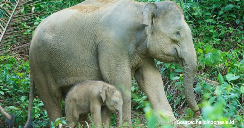Gajah Kalimantan - Mengenal Flora dan Fauna di Kalimantan Timur yang Langka dan Terancam Punah