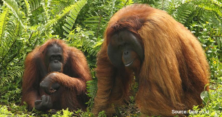 Orang Utan - Mengenal Flora dan Fauna di Kalimantan Timur yang Langka dan Terancam Punah
