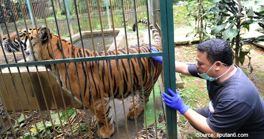 Penangkaran - Cara Melestarikan Harimau Sumatera agar Tidak Punah Beserta Fakta-Fakta Menariknya