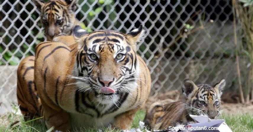 Cara Melestarikan Harimau Sumatera Tidak Punah Dan Fakta Menariiknya
