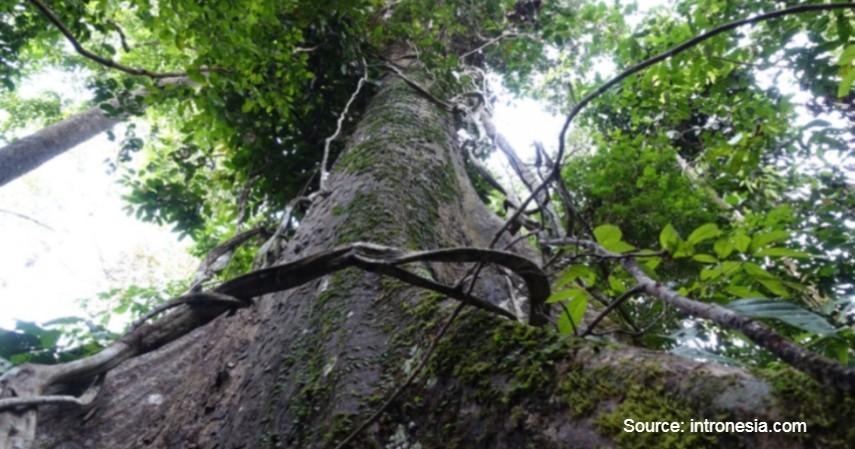 Pohon Ulin - Mengenal Flora dan Fauna di Kalimantan Timur yang Langka dan Terancam Punah