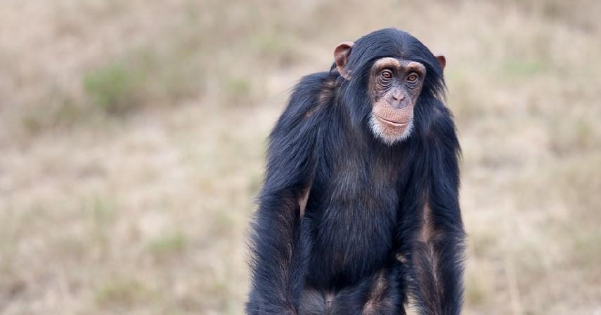 Simpanse - 10 Hewan Terpintar di Dunia Ada yang Pintar Mengingat hingga Meramal