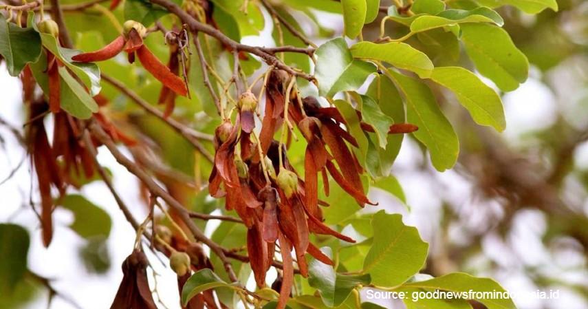 Tengkawang Tungkul - Mengenal Flora dan Fauna di Kalimantan Timur yang Langka dan Terancam Punah