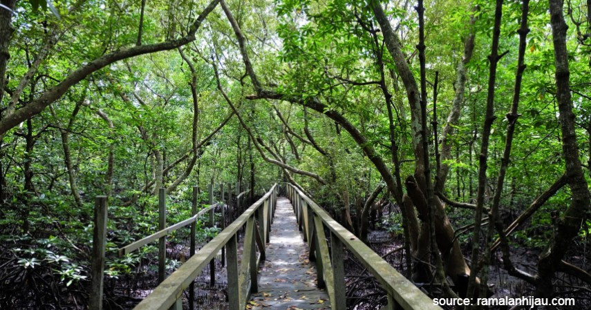 Kawasan Mangrove Semitan - Wisata ke Natuna Kunjungi Tempat Keren Ini