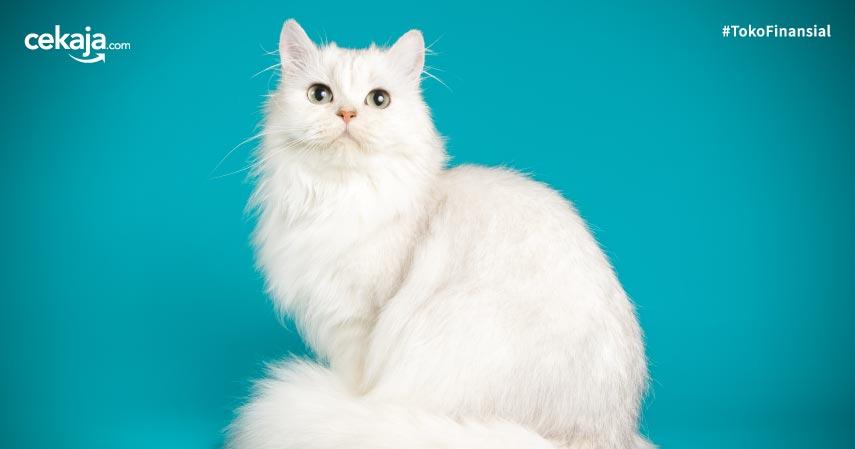 Tips memelihara Kucing Persia Agar Bulu Lembut Tanpa Kutu dan Sehat