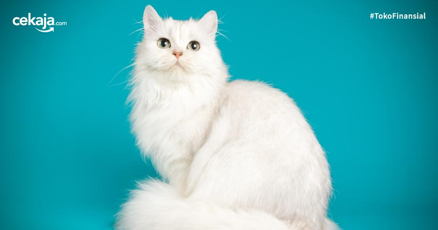 Tips Memelihara Kucing Anggora Agar Bulunya Tetap Lembut dan Menawan