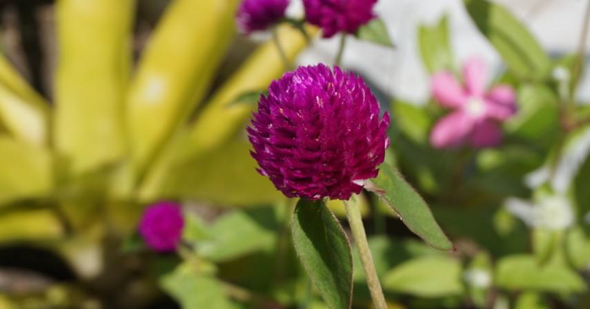 Bunga Kenop - Tanaman Obat di Rumah dalam Bentuk Bunga