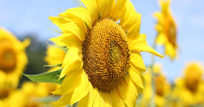 Bunga Matahari - Tanaman Obat di Rumah dalam Bentuk Bunga