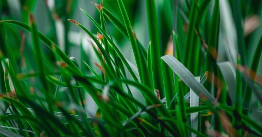 Daun Sereh - Ini 5 Bahan Alami yang Dapat Disulap Jadi Hand Sanitizer