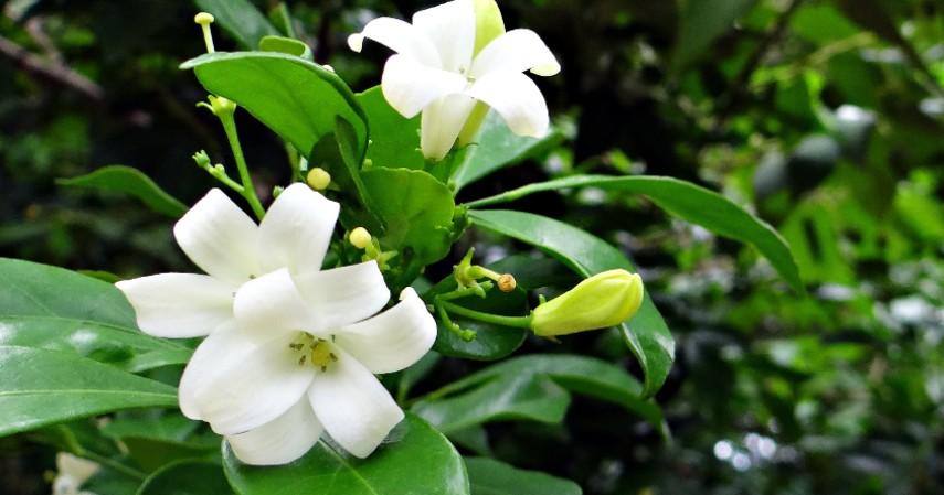 Kemuning - Tanaman Obat di Rumah dalam Bentuk Bunga