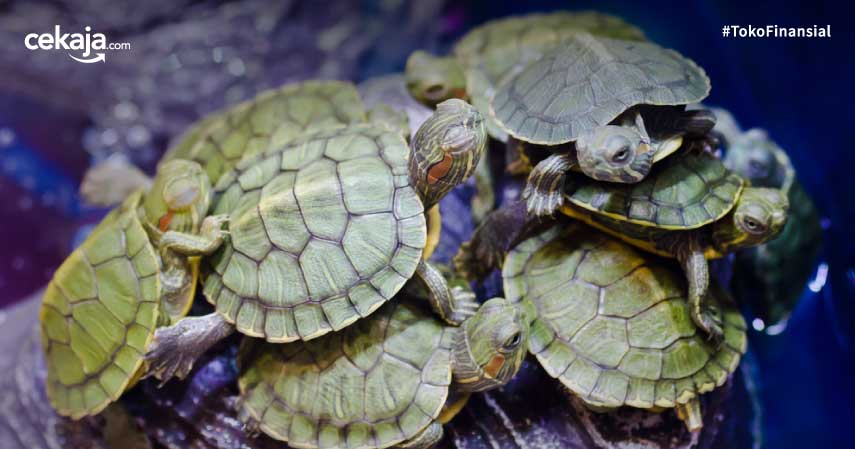 jenis kura-kura peliharaan