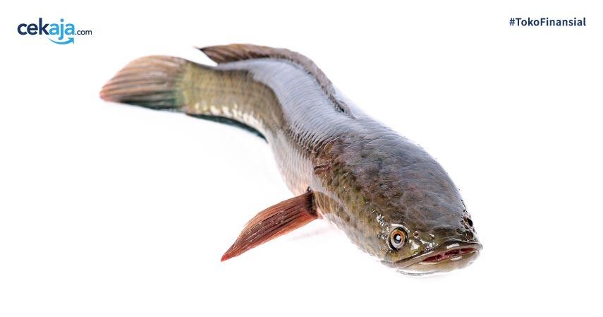 Manfaat Konsumsi Ikan Gabus Setelah Operasi dan Cara Mengolahnya
