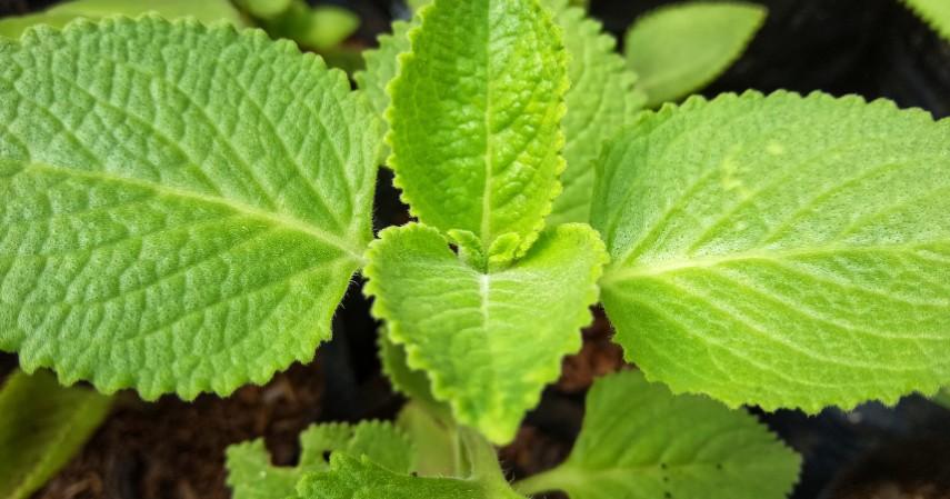 Daun Stevia - Alternatif Pemanis Selain Gula Pasir yang Mulai Langka Karena Isu Corona
