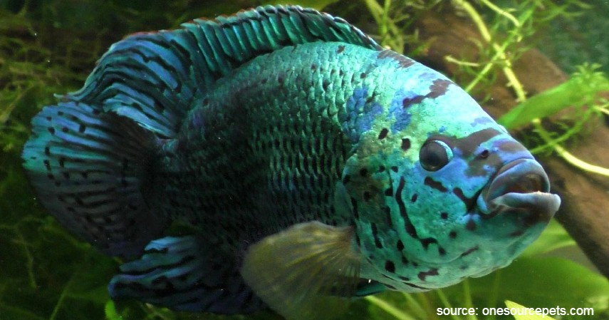 Ikan Jack Dempsey - 10 Ikan Predator untuk Peliharaan Garang Tapi Menawan