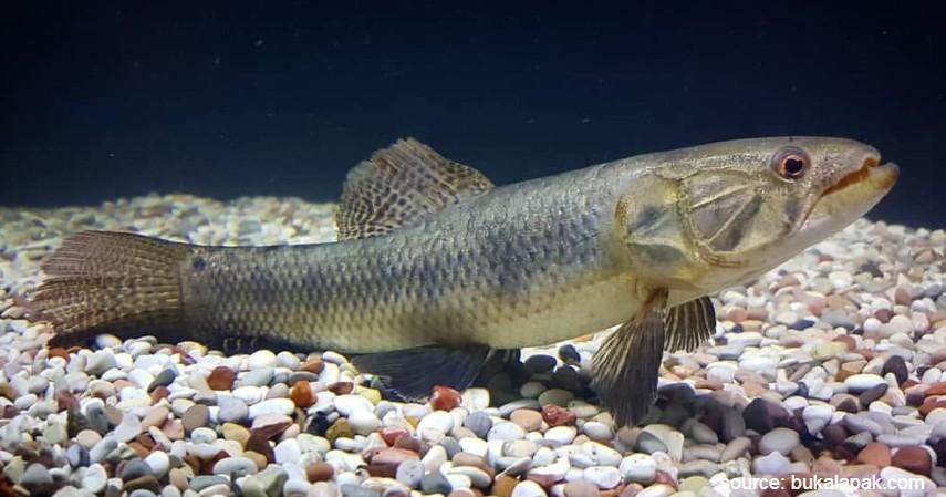 Ikan Malabar Wolffish - 10 Ikan Predator untuk Peliharaan Garang Tapi Menawan
