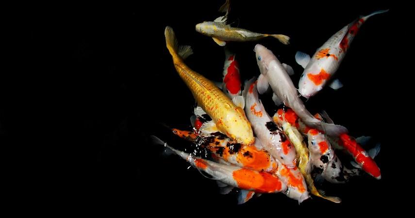 Mempelajari Berbagai Hal Mengenai Ikan Hias - Tips Sukses Usaha Ikan Hias Modal Kecil untuk Pemula