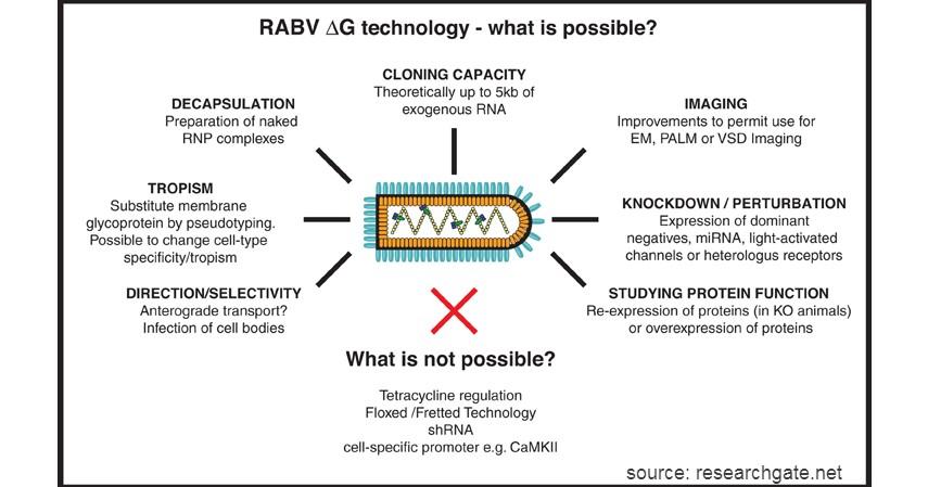 RABV - 9 Virus Berbahaya dari Hewan Selain Corona Wajib Tahu