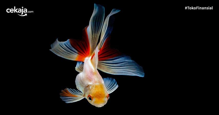 8 Ikan Hias Air Tawar yang Mudah Dipelihara dan Harga Murah