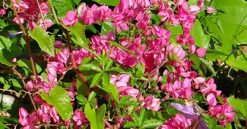 Air Mata Pengantin - 14 Tanaman Merambat Berbunga yang Cantik dan Segudang Manfaatnya