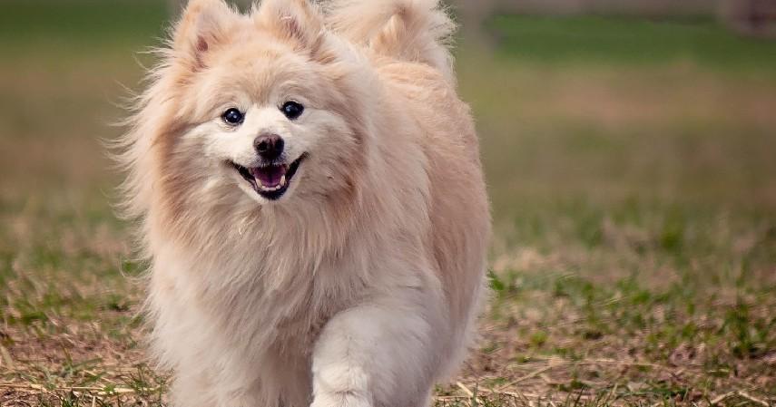 Anjing Pomeranian - 7 Hewan Peliharaan Unik Milik Selebgram Hingga Idol Kpop