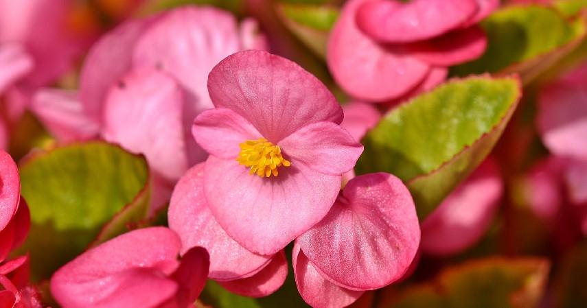 Begonia - 14 Tanaman Merambat Berbunga yang Cantik dan Segudang Manfaatnya