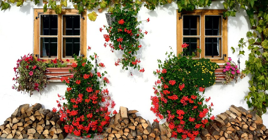 Bunga Ivy - 14 Tanaman Merambat Berbunga yang Cantik dan Segudang Manfaatnya