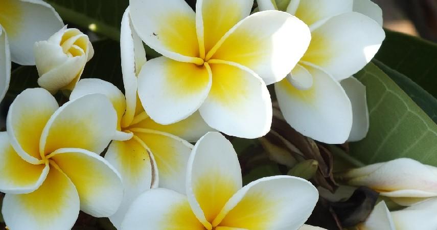 Bunga Kamboja - 15 Tanaman Pengusir Nyamuk Paling Efektif dan Mudah Ditanam