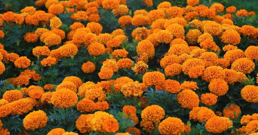 Bunga Marigold - 15 Tanaman Pengusir Nyamuk Paling Efektif dan Mudah Ditanam