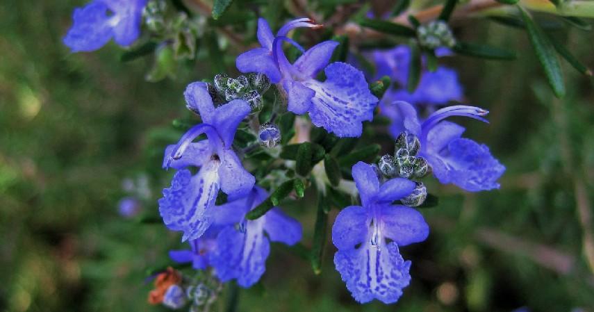 Bunga Rosemary - 15 Tanaman Pengusir Nyamuk Paling Efektif dan Mudah Ditanam