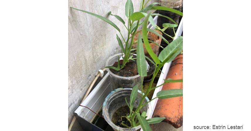 Cara Menanam Kangkung dengan Metode Hidroponik - Cara Menanam Kangkung Paling Mudah untuk Pemula