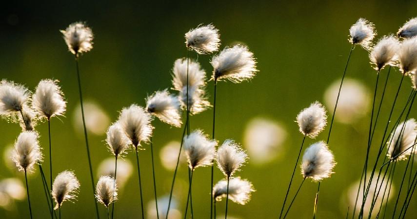 Cotton Flower - Serba-serbi Bunga Kering Mulai dari Jenis Hingga Cara Merawatnya