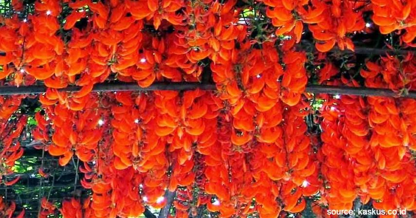 Flame of Irian - 14 Tanaman Merambat Berbunga yang Cantik dan Segudang Manfaatnya