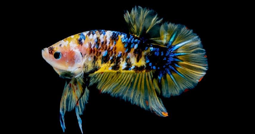Ikan Cupang - 8 Ikan Hias Air Tawar yang Mudah Dipelihara dan Harga Murah