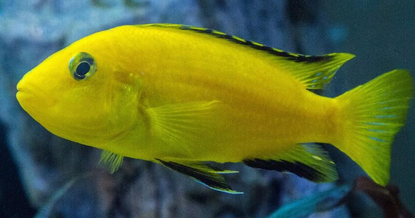 Ikan Lemon - 8 Ikan Hias Air Tawar yang Mudah Dipelihara dan Harga Murah