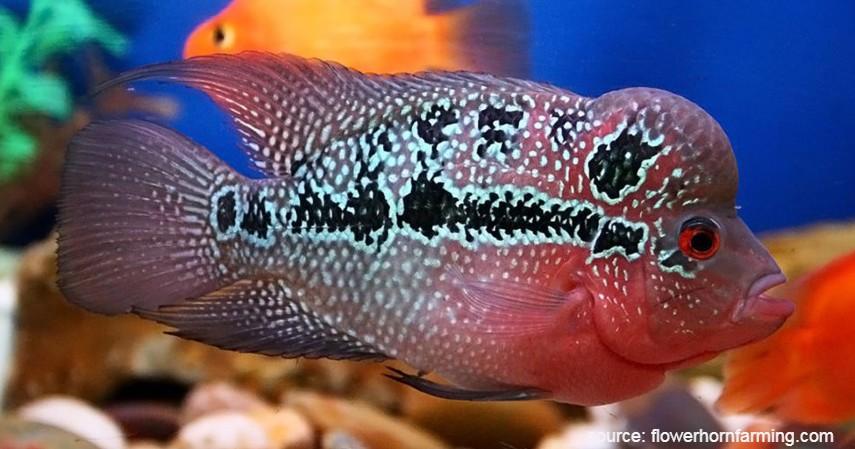 Ikan Lou Han - 8 Ikan Hias Air Tawar yang Mudah Dipelihara dan Harga Murah