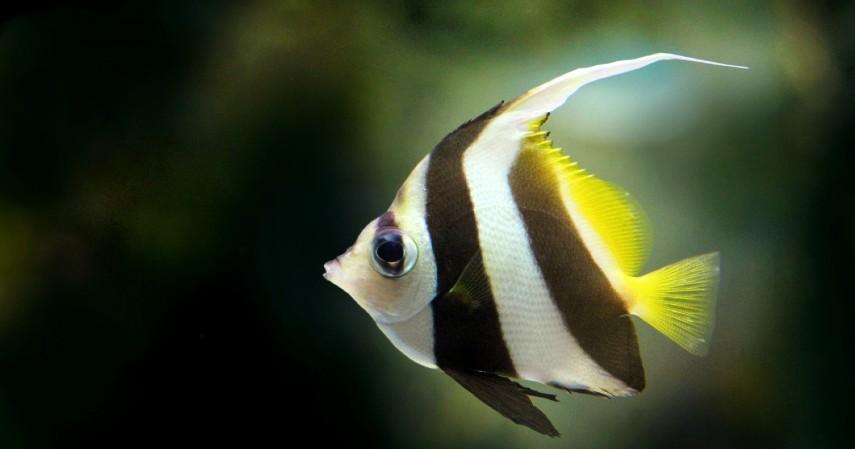 Ikan Manfish - 8 Ikan Hias Air Tawar yang Mudah Dipelihara dan Harga Murah