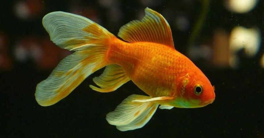 Ikan Mas Koki - 8 Ikan Hias Air Tawar yang Mudah Dipelihara dan Harga Murah