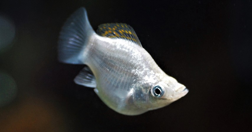 Ikan Molly - 8 Ikan Hias Air Tawar yang Mudah Dipelihara dan Harga Murah