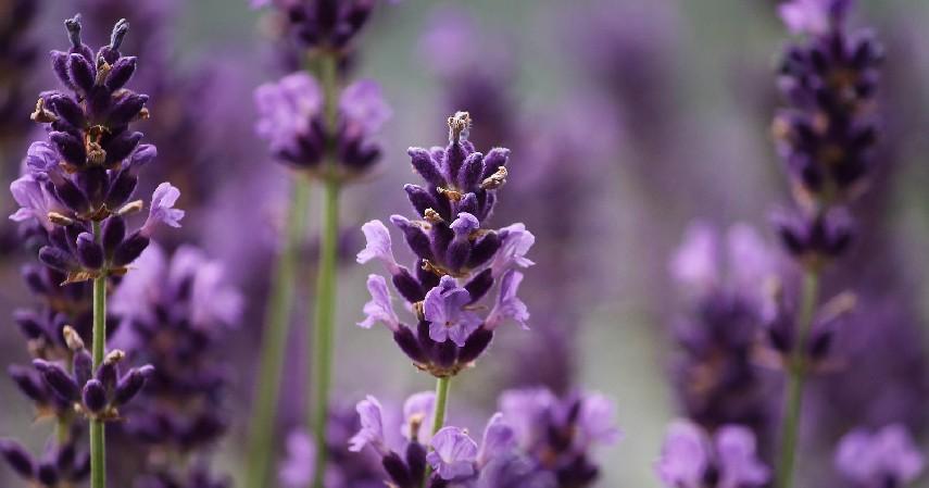 Lavender - 10 Tanaman Pengusir Tikus Paling Efektif