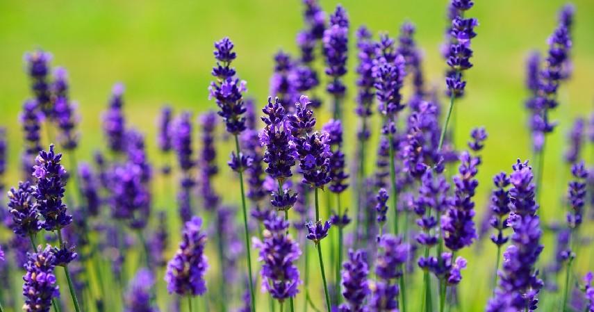 Lavender - 15 Tanaman Pengusir Nyamuk Paling Efektif dan Mudah Ditanam